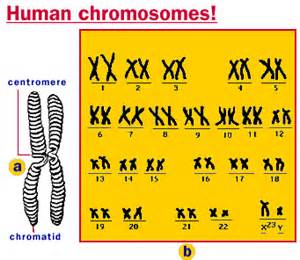 how many autosomes does a human male liver picture 1