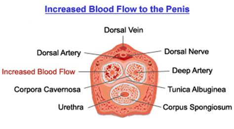 how to increase blood flow to penis how picture 3