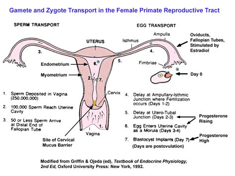 female part of zygote for antiaging picture 4