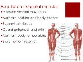 functions of muscle system picture 3