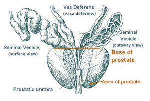 Prostate gland structure picture 1