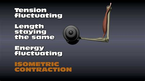 isometric and isotonic muscle contraction picture 5