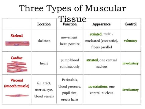 functions oe the muscle system picture 2