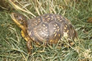 box turtles diet picture 10