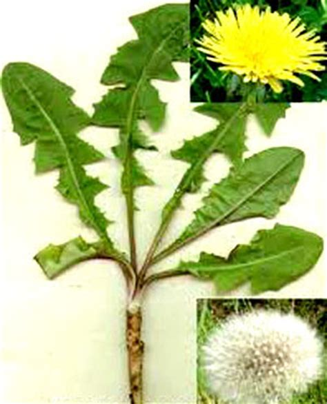dandelion root for digestion picture 2
