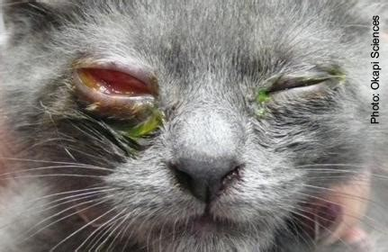feline herpes picture 18