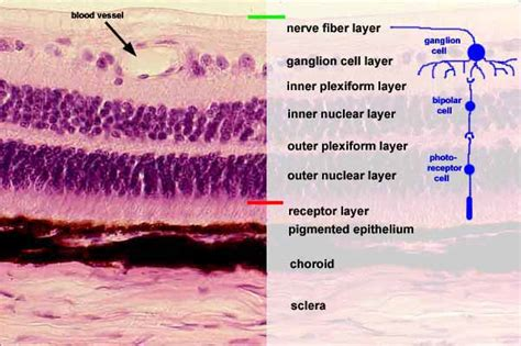 ciliary muscle picture 21