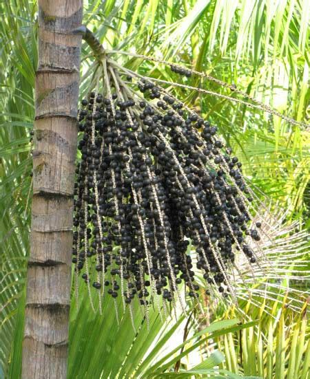 acai berry tree picture 6