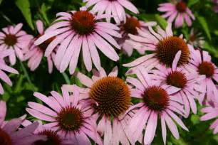 botanical, echinacea picture 17