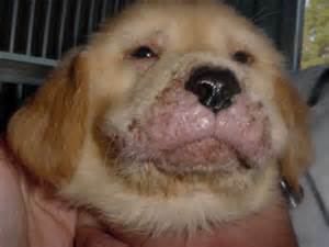 canine acne picture 10
