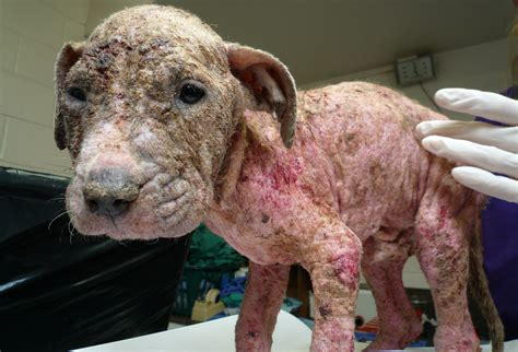 infected skin sores on animals picture 1