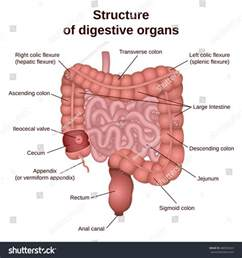 colon digestive picture 2