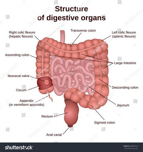 colon digestive picture 6