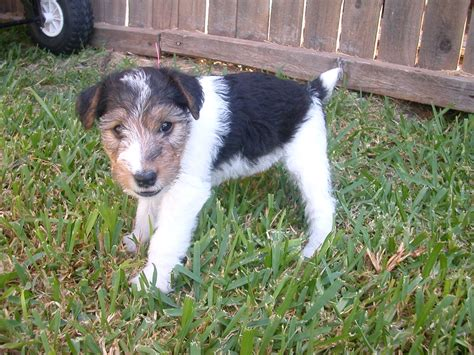 wire hair fox terriers picture 18