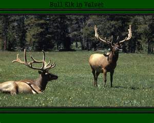 elk velvet on penis size picture 1