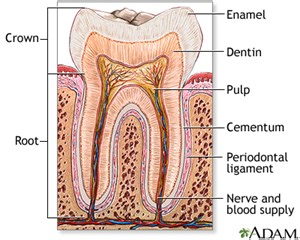 anatomy of the teeth picture 17