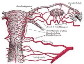 Blood flow around uterus pregnant picture 2
