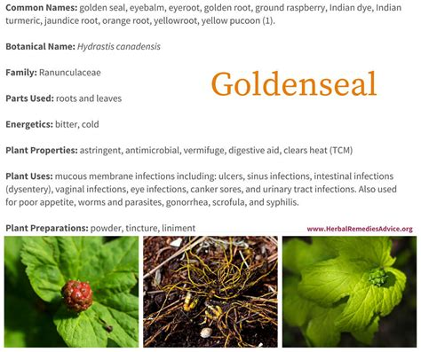 goldenseal herb for tooth infection picture 7