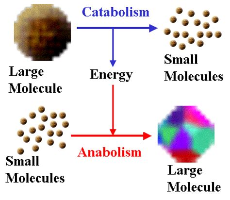 anabolism picture 1