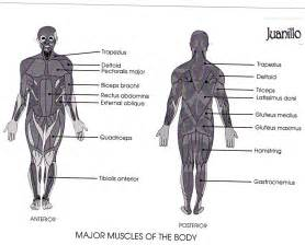diagram of body muscle picture 18