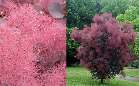 caring for my purple smoketree picture 1