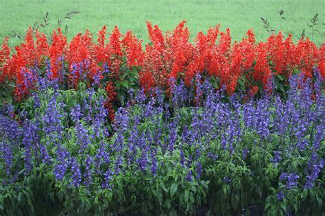 salvia divinorum plants for sale in orlando fl picture 2