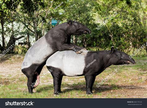 tapir sex picture 6