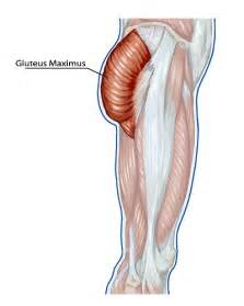 gluetious muscle picture 2
