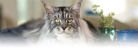 cat liver disease picture 17