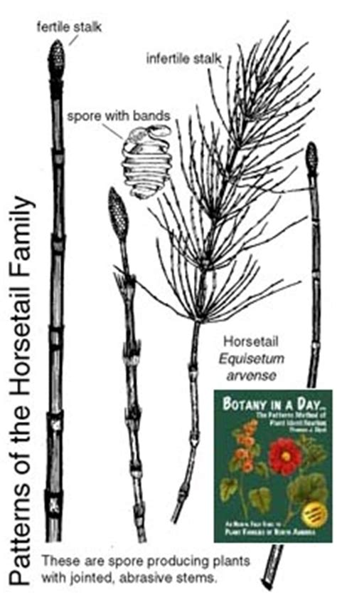 common characteristics in plant horsetails family picture 1