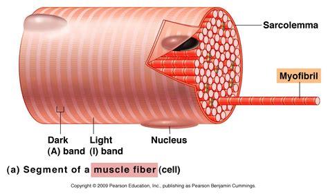 anatomy of skeletal muscle fiber picture 1