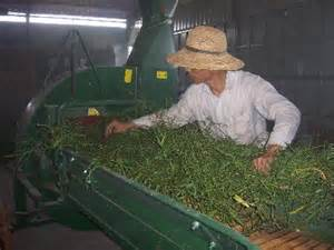 drying alfalfa hay picture 1