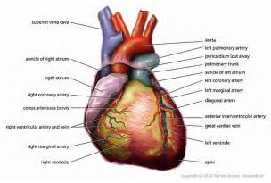 anatomy and physiology of blood circulation picture 19