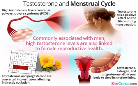 testosterone in menstrual cycle picture 2