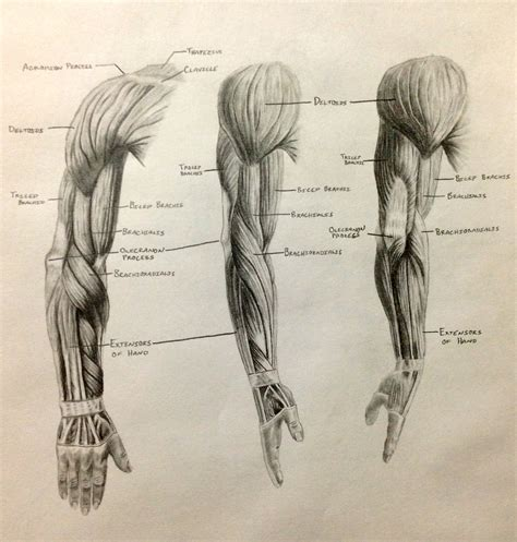 forearm muscle anatomy picture 14
