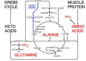 amino acids muscle picture 17