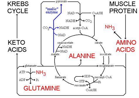 amino acids muscle picture 13