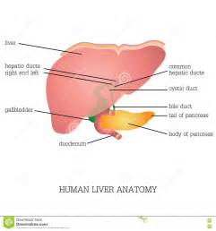 liver function and ed picture 5