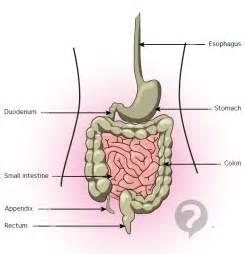 ducodendum stomach colon picture 6