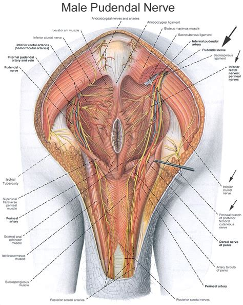 nerves found in the penis and ball sack picture 3