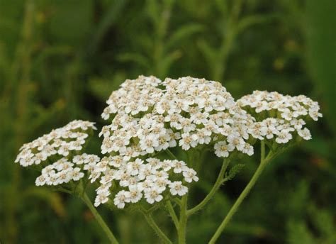 yarrow picture 13