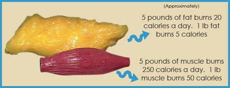 what muscle fibers burn fat picture 5