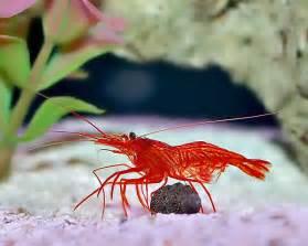 peppermint shrimp picture 1