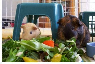 cavy diet picture 15
