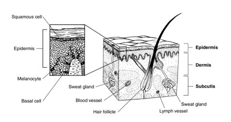 is rhodopsin located in skin cells picture 6