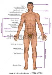 testosterone glands in legs picture 6