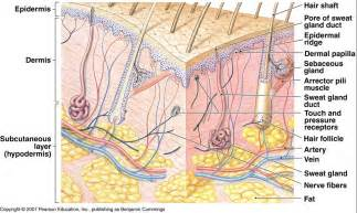integumentary system skin model picture 18