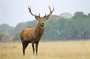 stag antler steroid picture 3