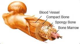 what is bone & bone marrow homeopathic used picture 9