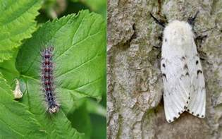 gypsy moths skin rash photos picture 6